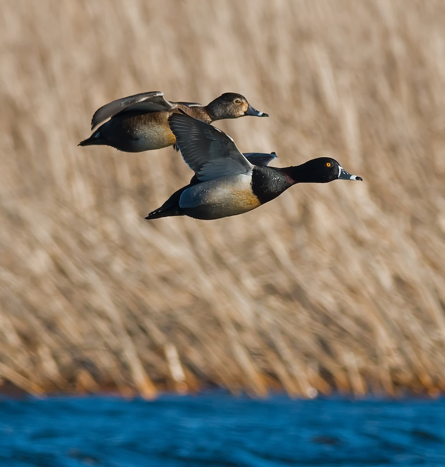 Mississippi Flyway of Migrating Waterfowl